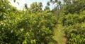 Cinnamon Land for Sale Bodarak